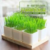 小麥草盆栽 盆栽創意種植植物種子園藝盆栽麥芽草麥草汁